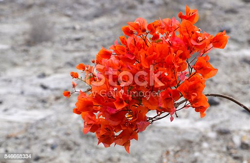istock Red Bougainvillea flowers on a grey blurred background.Bougainvillea.Floral background. 846668334