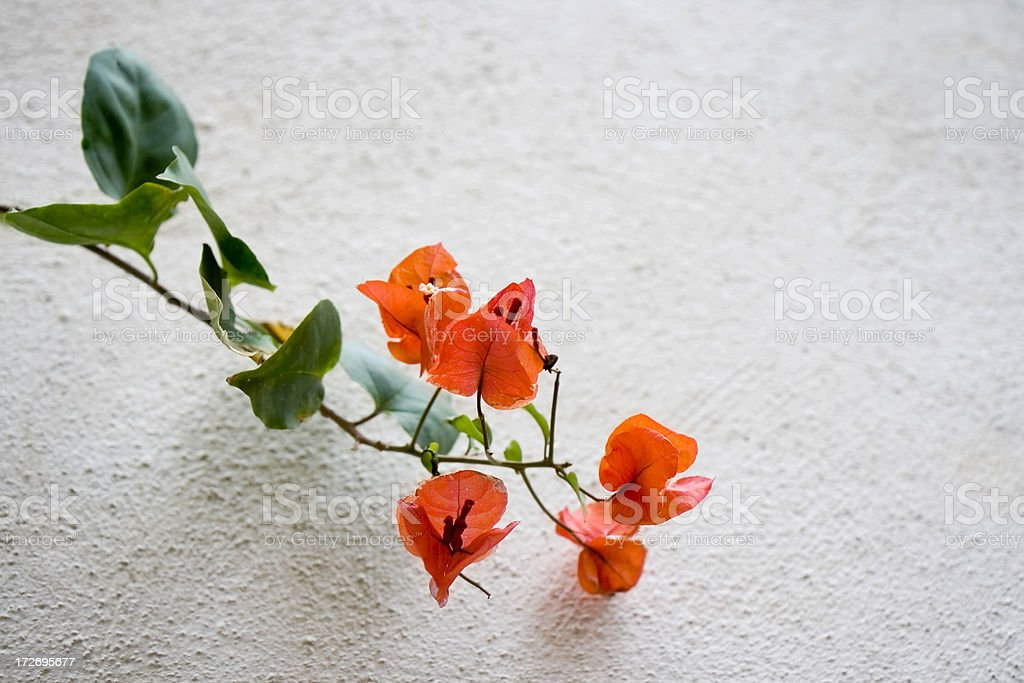 Red bougainvillea royalty-free stock photo