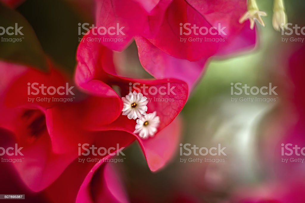 Red bougainvillea stock photo