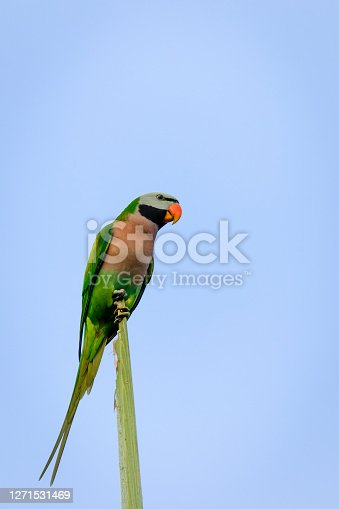 A beautiful small green bird that has managed to breed successfully in the wild in Singapore and considered a