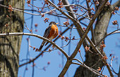 A Red Breasted Robin perched on a budding Tree in the Spring.