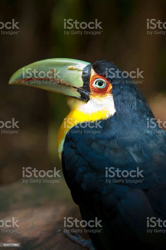 Red breasted Toucan stock photo