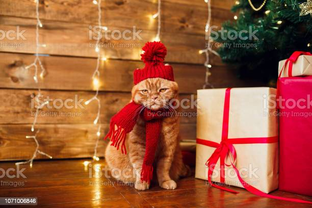 Red british cat in knitted hat and scarf sitting under christmas tree picture id1071006846?b=1&k=6&m=1071006846&s=612x612&h=nthtejtgklodchz25ci4diigd4qhvaj4wdz9kr5v1eo=