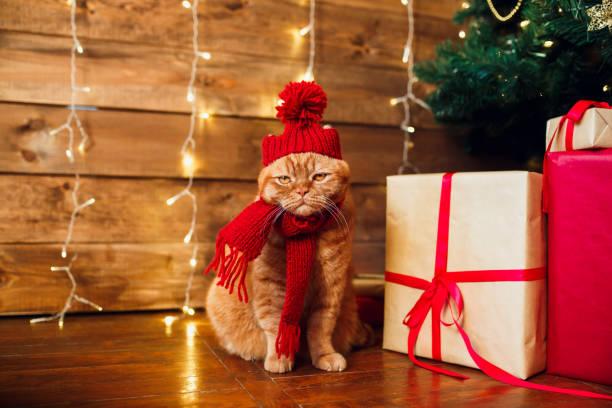 rote britische katze in gestrickte mütze und schal sitzen unter dem weihnachtsbaum und geschenkkartons. - katze weihnachten stock-fotos und bilder