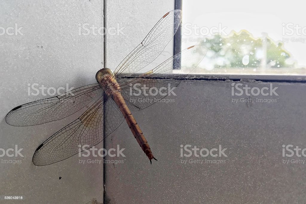 red brown dragonfly sitting on window border stretching the wings royalty-free stock photo