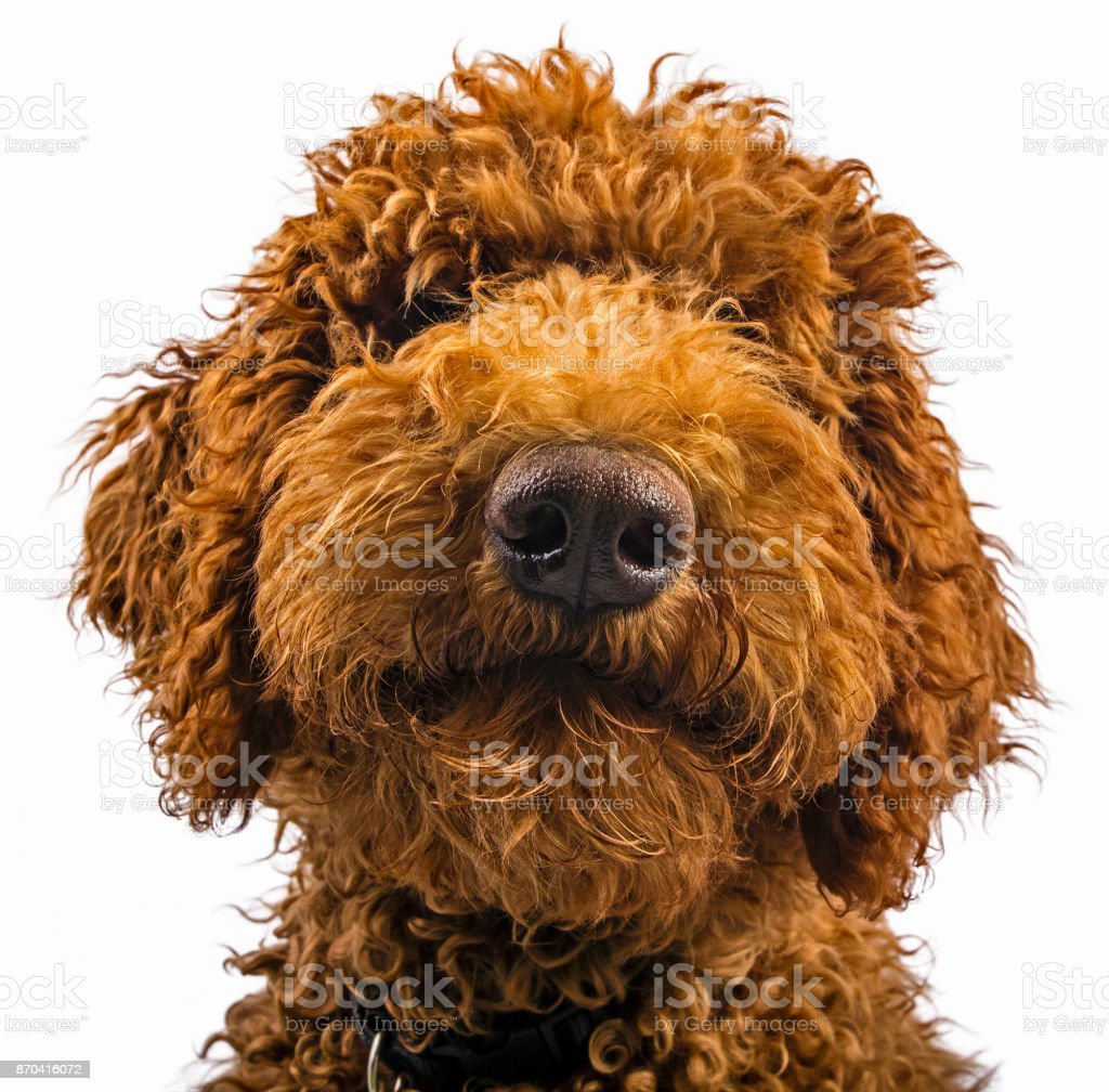 Red Brown Labradoodle Puppy Closeup Face on White Background stock photo