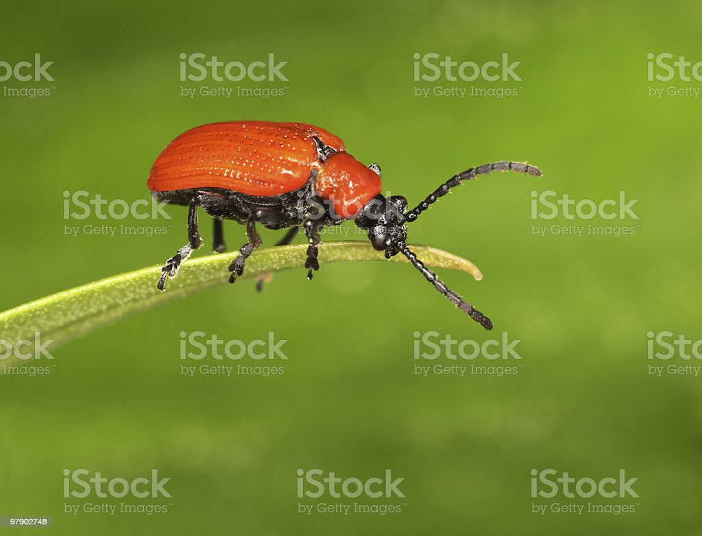 Red bug on blade royalty-free stock photo
