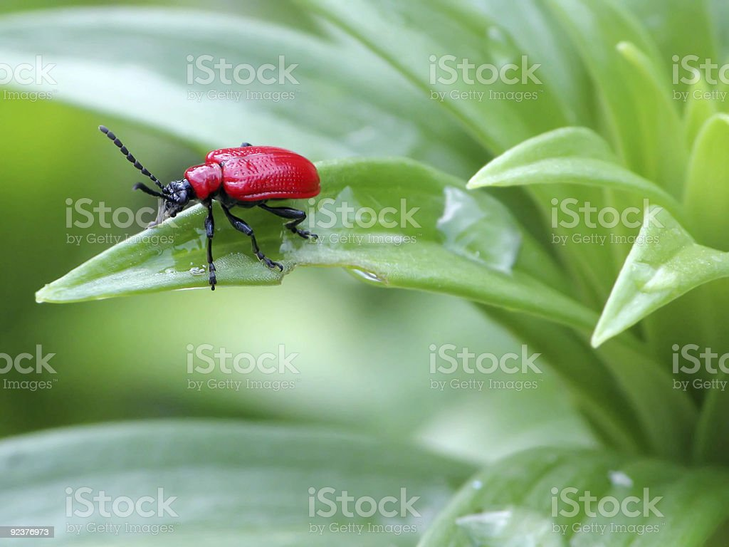 Red Bug royalty-free stock photo