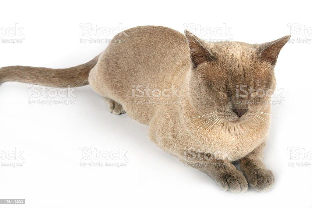 Red burmese cat, whole body, white background, eyes closed royalty-free stock photo
