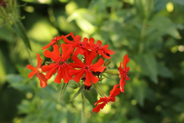 Red Burning Love flowers - Silene Chalcedonica stock photo