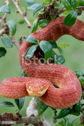 Red Bush Viper (Atheris squamigera) Descending from Tree- Male