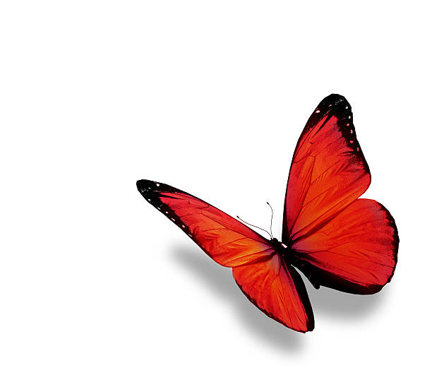 Red butterfly isolated on white background picture id530826281?b=1&k=6&m=530826281&s=612x612&w=0&h=yr84nc4bkj4qlxvhnqg3hjab4soaf5f kyncd37xvxm=