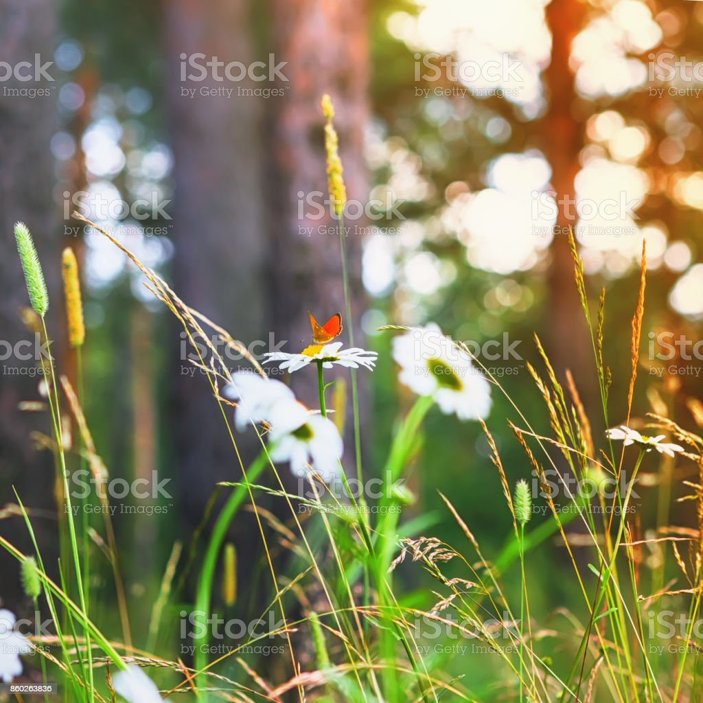 Red Butterfly On a Daisy In Summer Forest stock photo