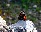 Red butterfly admiral on the rock