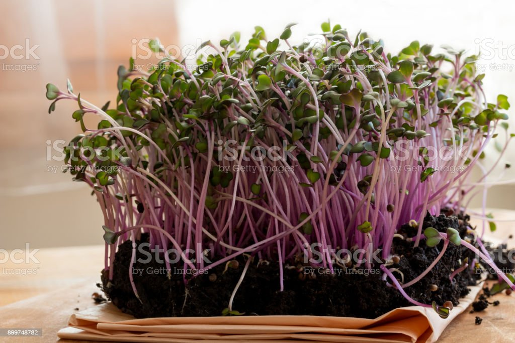 Red cabbage microgreens in soil stock photo