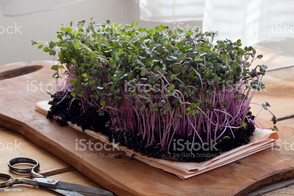 Red cabbage microgreens stock photo