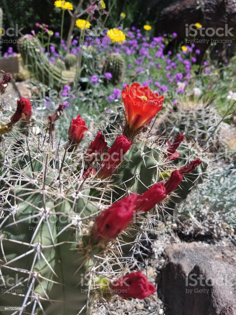 Red Cactus Blossom and Desert Flowers stock photo