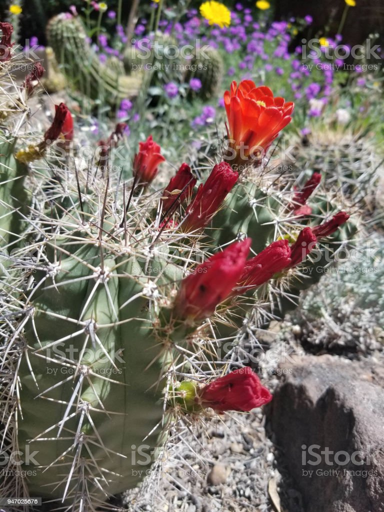 Red Cactus Blossom in Springtime stock photo