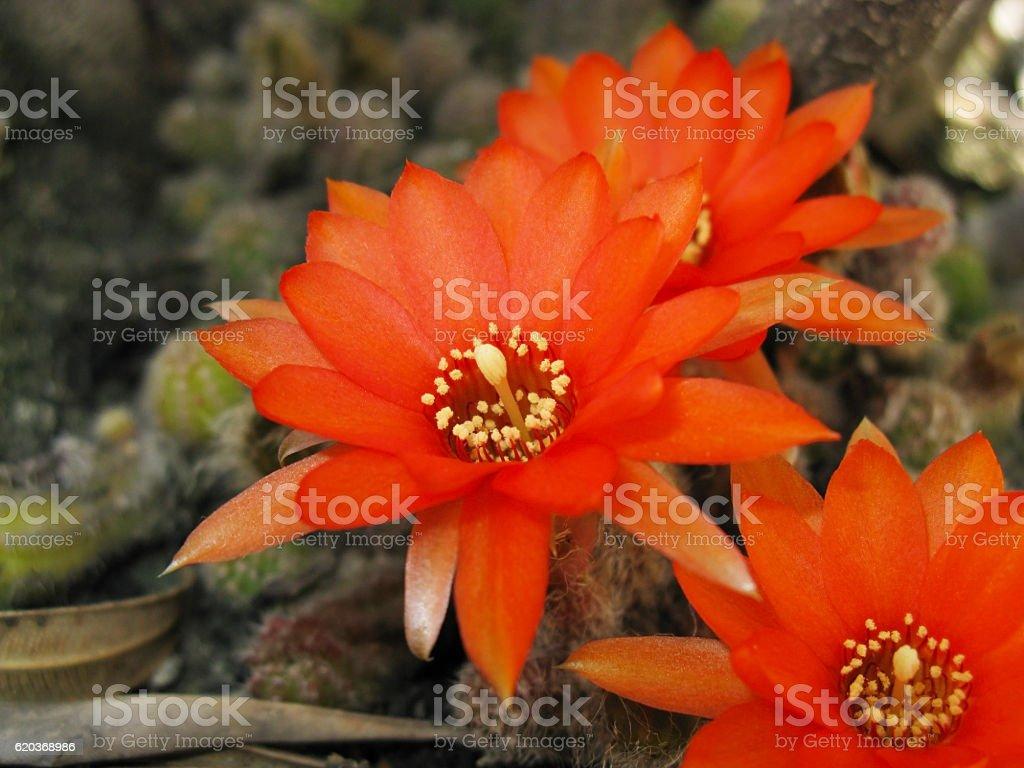 Czerwony Kaktus kwiat zbiór zdjęć royalty-free