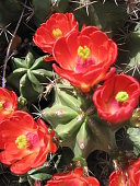 A prickly pear cactus in full bloom with red flowers.