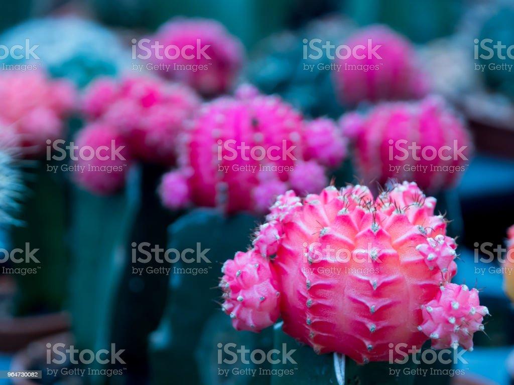Cactus rojos en olla - foto de stock