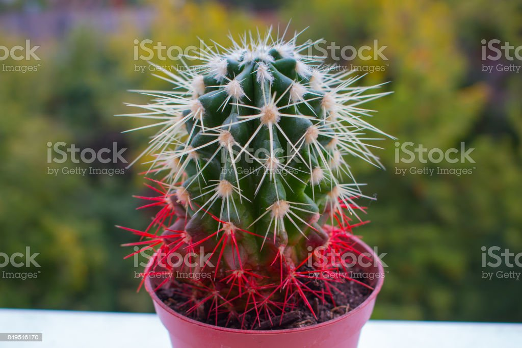 ECHINOCACTUS GRUSONII Red cactus in the blurry green background stock photo