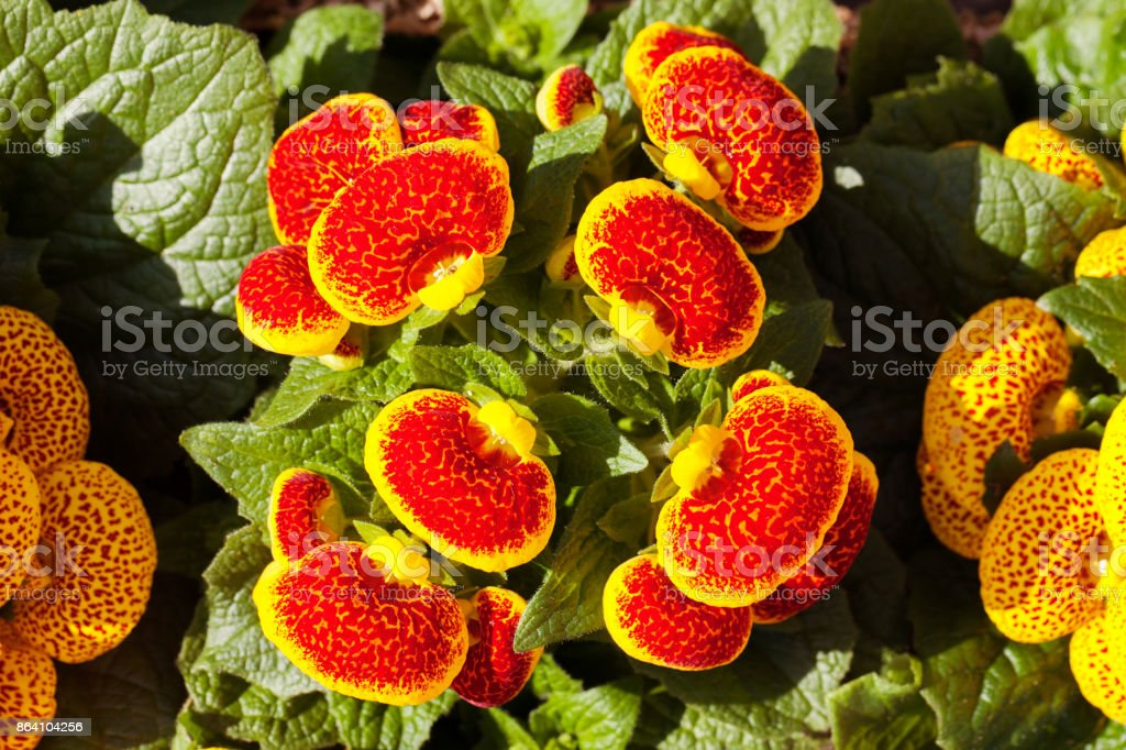 red calceolaria royalty-free stock photo