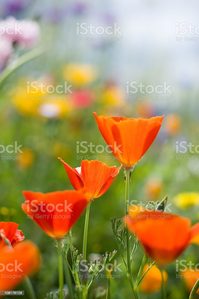 red california poppies royalty-free stock photo