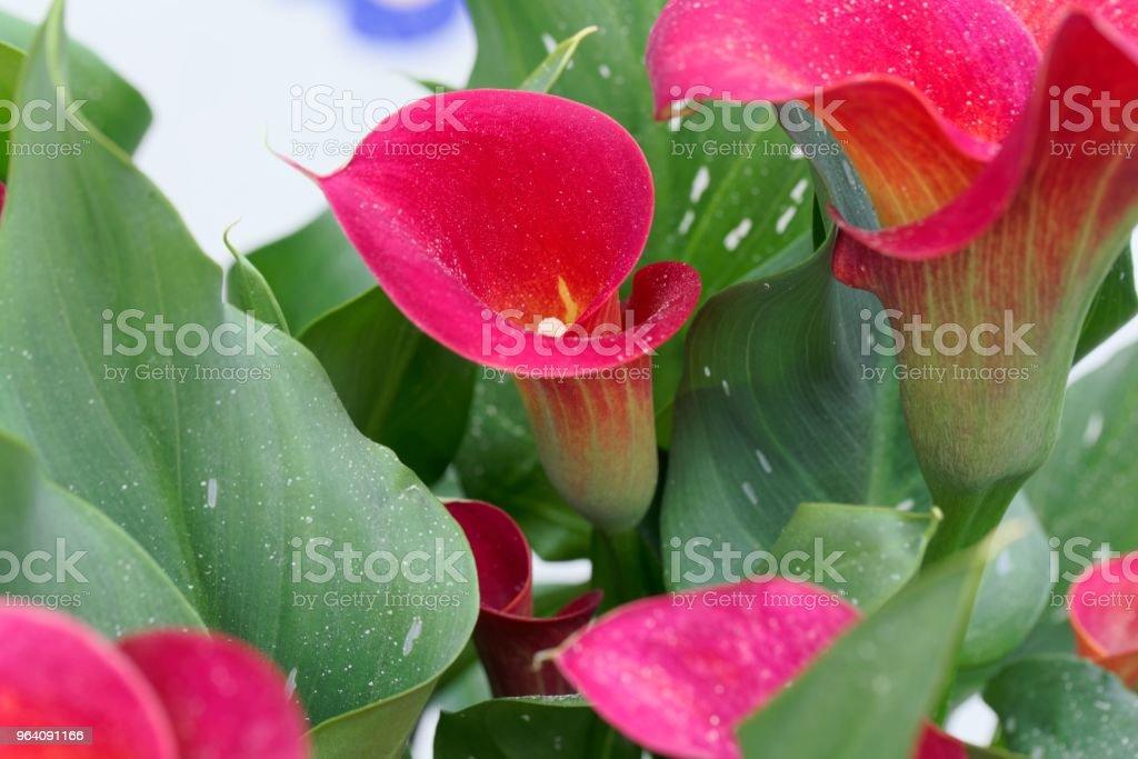 Red calla or arum lily (Zantedeschia aethiopica) - Royalty-free Annual - Plant Attribute Stock Photo