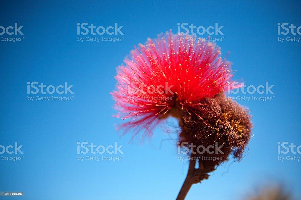 Red Calliandra flor de Savannah ou Cerrado brasileiro - foto de acervo