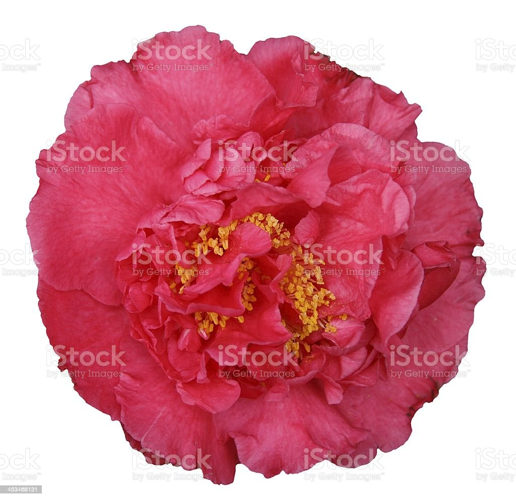 Red Camellia Flower Isolated on White stock photo