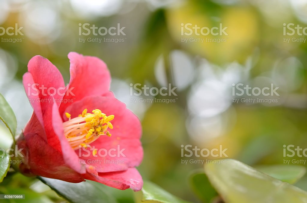 Red camellia flower stock photo