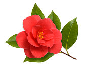 Red camellia flower