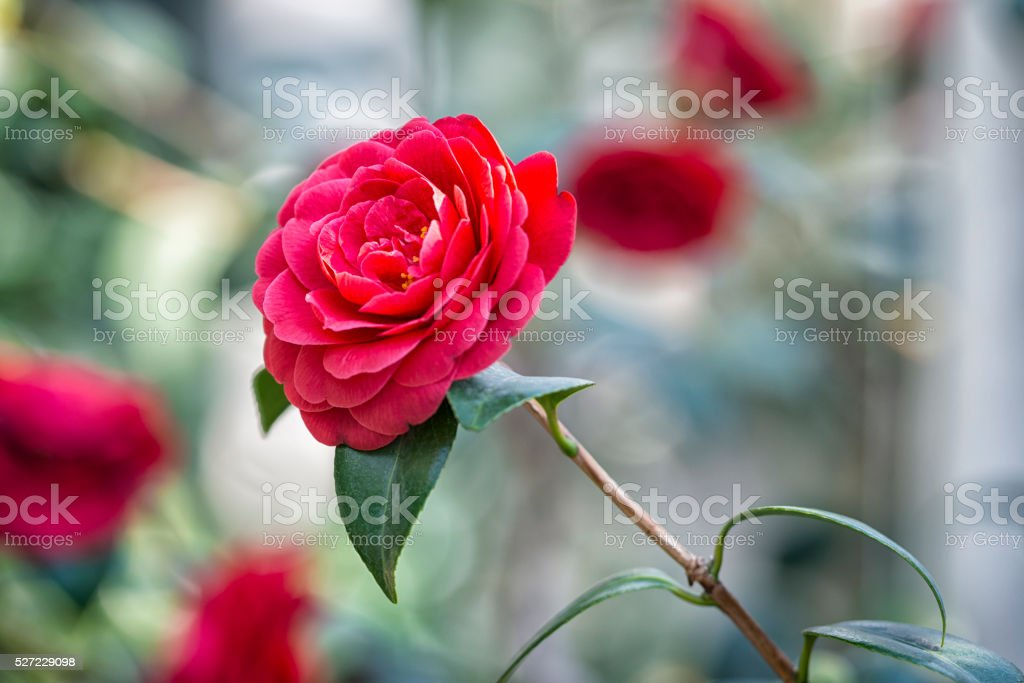 Red Camellia inside a greenhouse stock photo