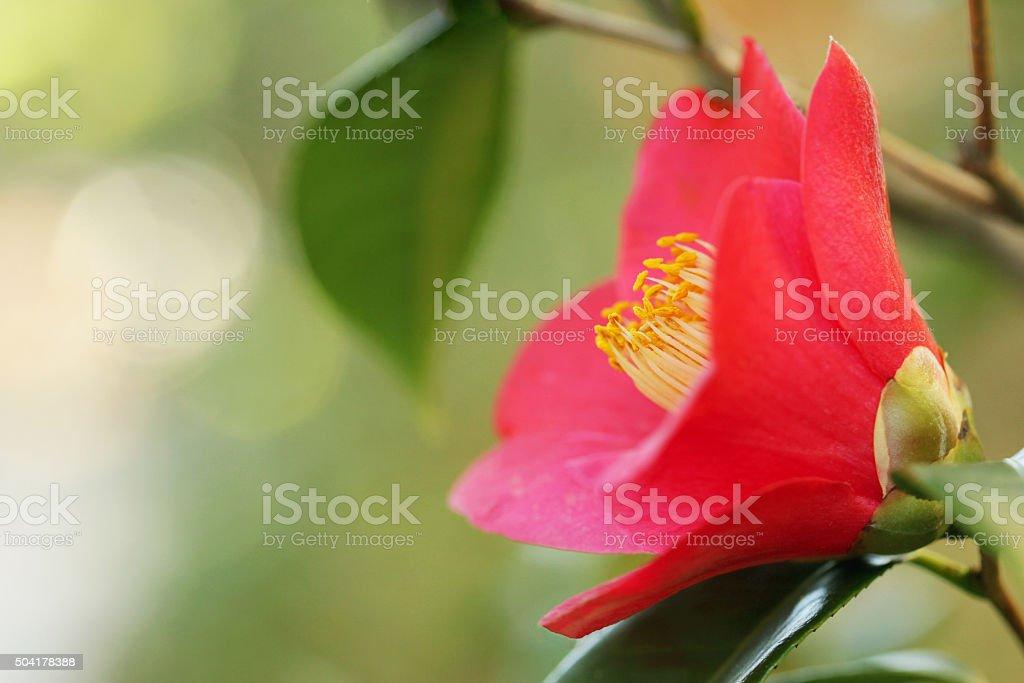 Red Camellia stock photo