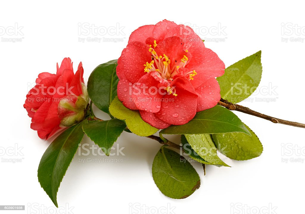 Red camellia twig against white stock photo