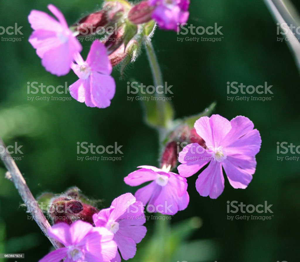 Red Campion Or Red Catchfly Flower Blooming In Spring Stock Photo