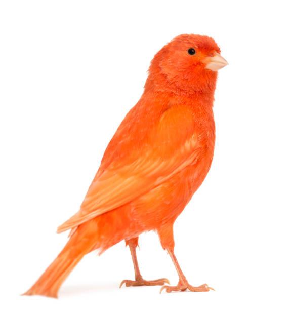 rouge canari, serinus canaria, sur fond blanc - canari photos et images de collection
