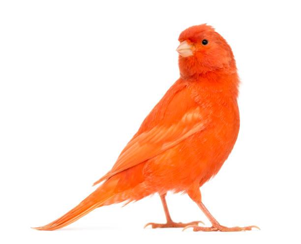 Red canary serinus canaria against white background picture id877367018?b=1&k=6&m=877367018&s=612x612&w=0&h= vt ozrvzd0mdcd k3o 03sb7ebtse fmkld9oiobxm=