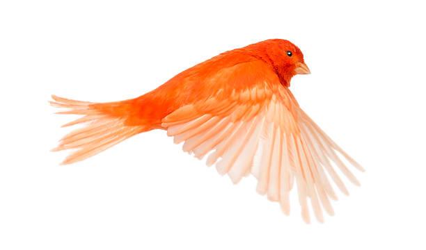 canaria serinus canari rouge, volant sur fond blanc - canari photos et images de collection