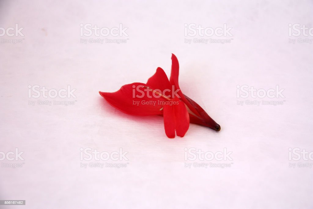 Red Canna flower on the white background. stock photo