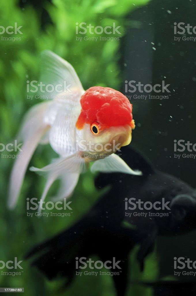 Cappuccio rosso oranda e black moor pesce rosso in for Carpa pesce rosso
