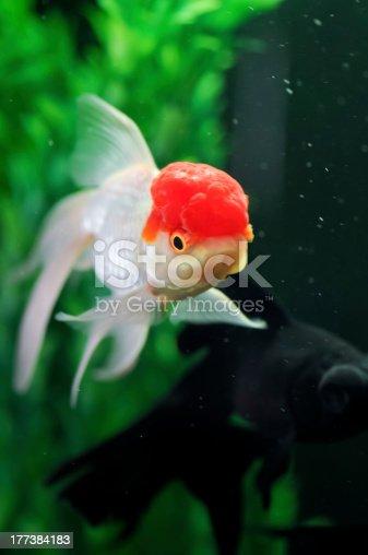 Casquette rouge oranda et un poisson rouge sur fond noir for Tarif poisson rouge