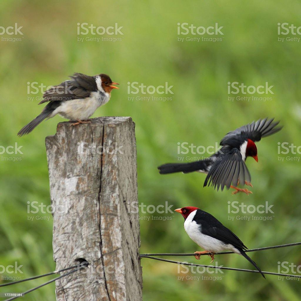 Rojo tapa de los Cardinals foto de stock libre de derechos