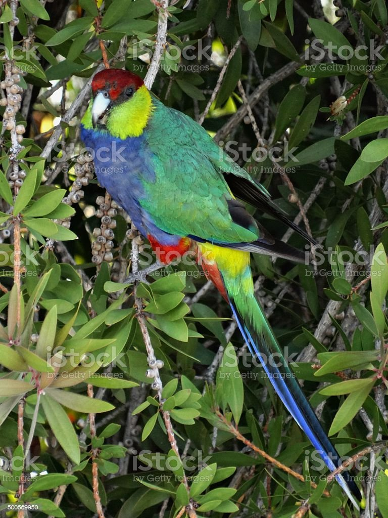 Red Capped Parrot stock photo