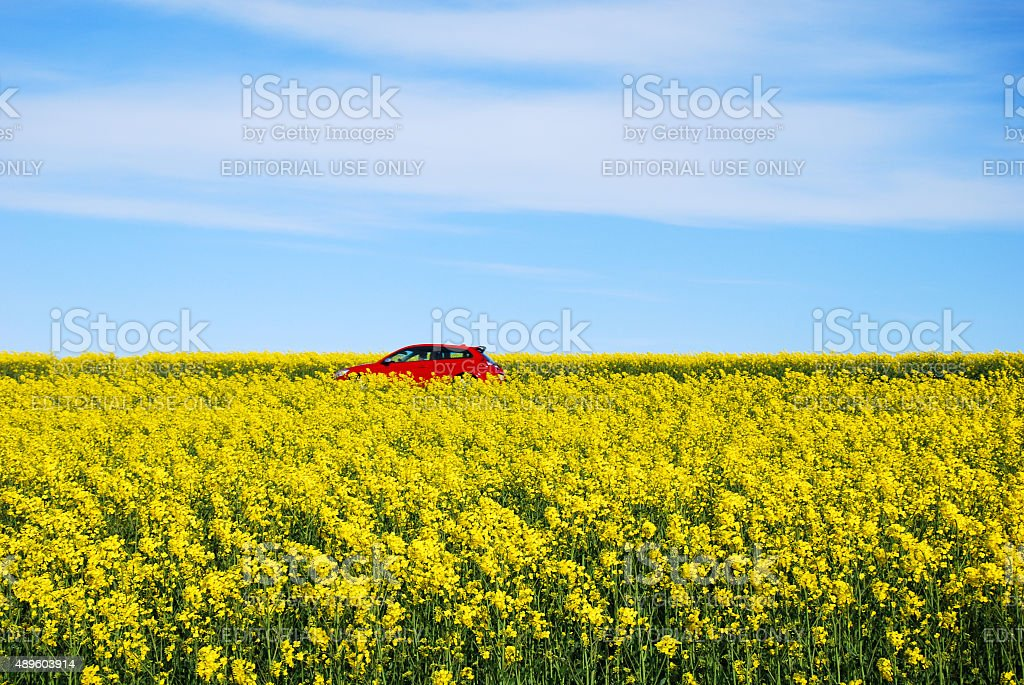 Red car  in blossom rapeseed field stock photo