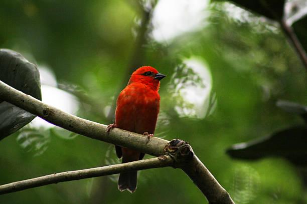 Red Cardina Fody Male – Foto