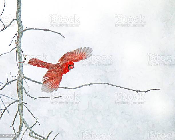 Red cardinal flying in the snow picture id512122236?b=1&k=6&m=512122236&s=612x612&h= a ckzhi7 8gavfoarv1e02bs6ibobe3t55g3gj5coi=