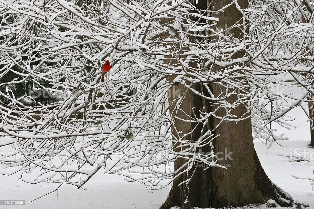 Red Cardinal in Snowy Tree royalty-free stock photo