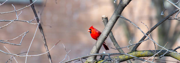 Red cardinal in tree in Canada stock photo